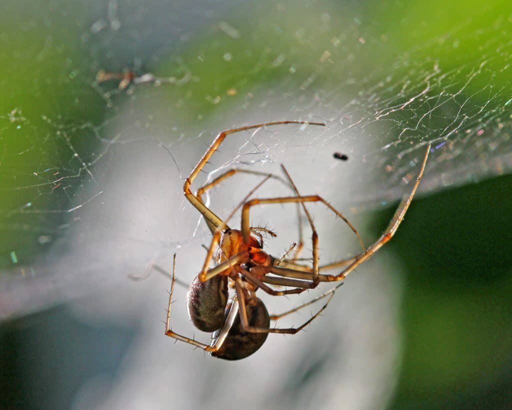 Zwei Spinnen sind sich im Netz am Paaren.