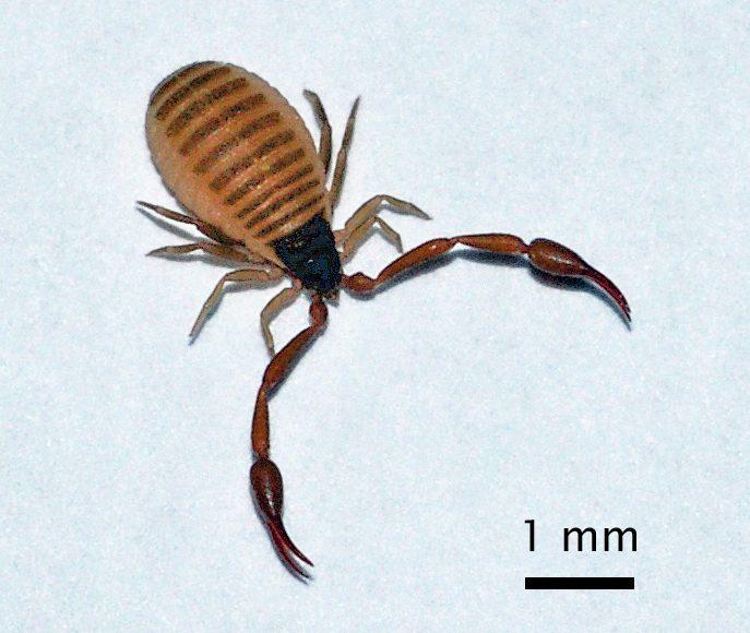 Der Bücherskorpion Chelifer Cancroides bekämpft die Varroamilbe.