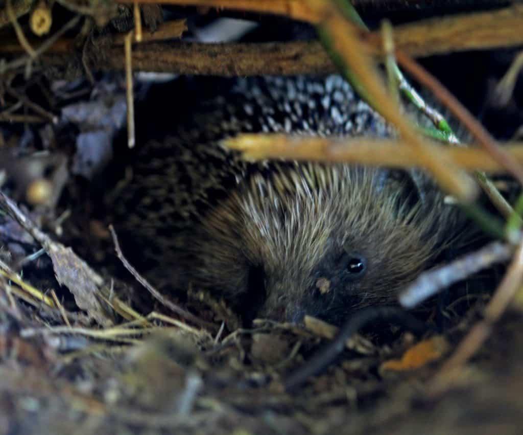 Ein Igel liegt im Nest.