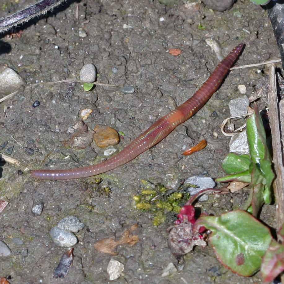 Ein Regenwurm kriecht über den Boden.