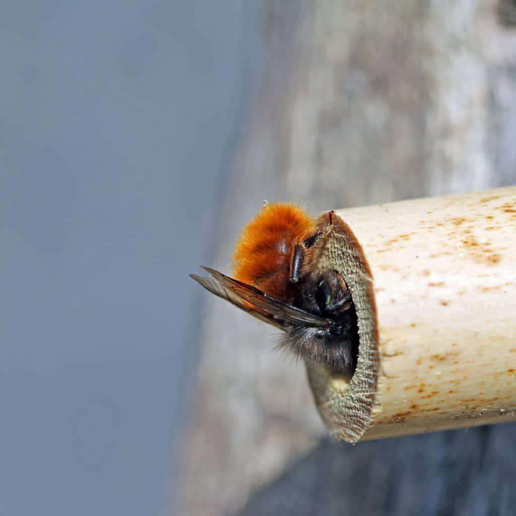 Eine Mauerbiene schaut in ihr Holzloch.