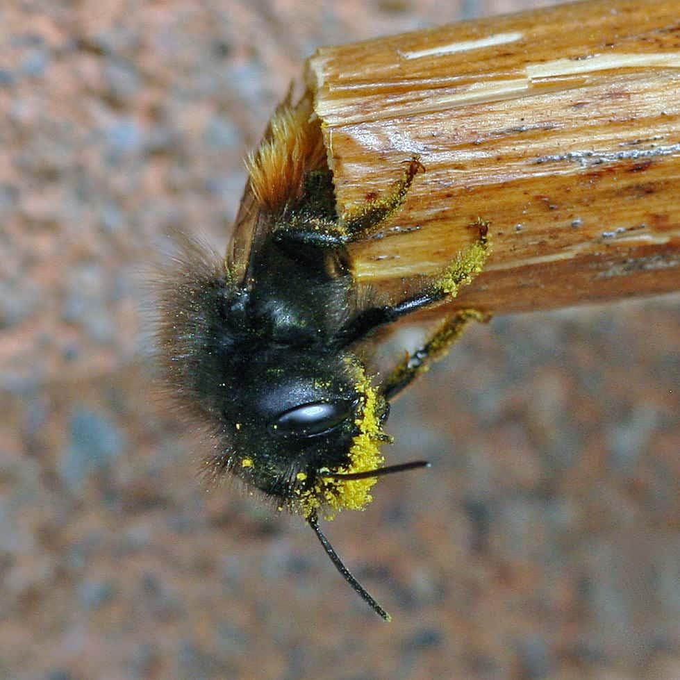 Eine Mauerbiene voll von Pollen.