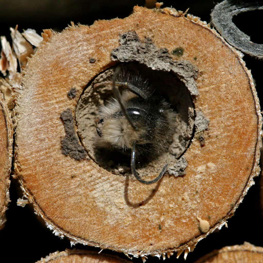 Eine Wildbiene, Osmia cornuta, schaut aus ihrem Holzloch heraus.