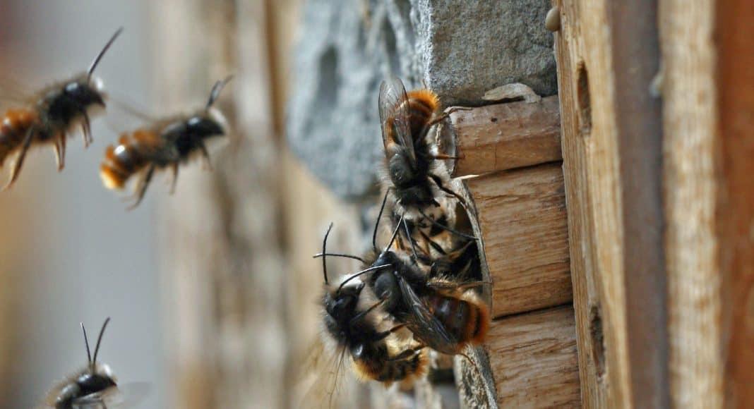 Gehörnte Mauerbiene, Osmia cornuta, an einer Nisthilfe.