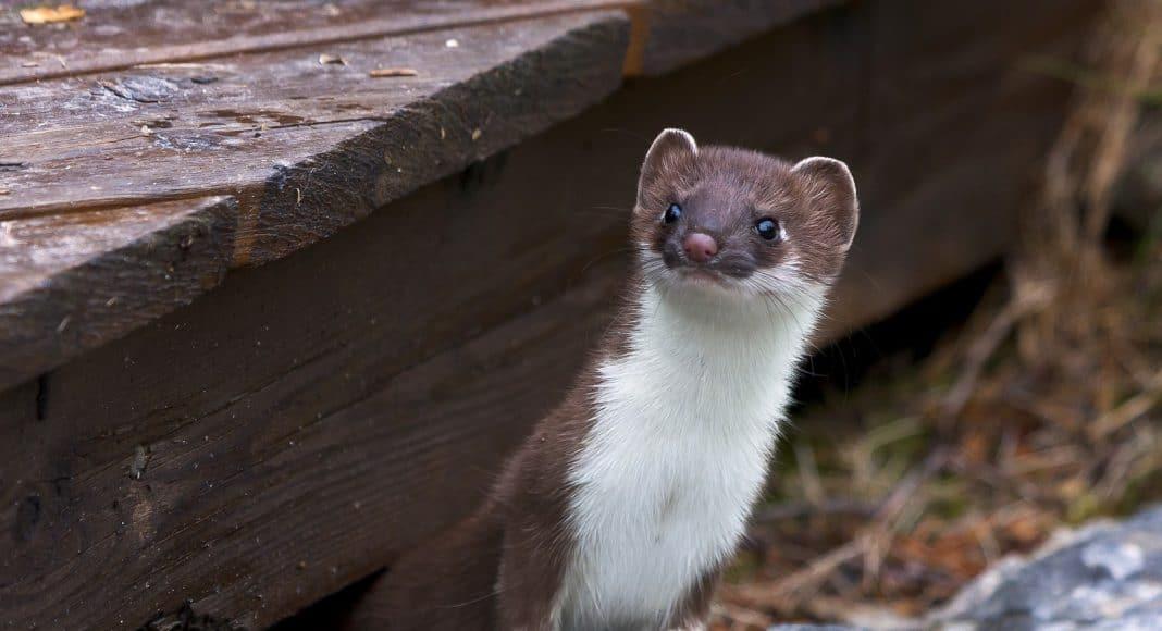 Hermelin schaut unter einer Holztreppe hervor.
