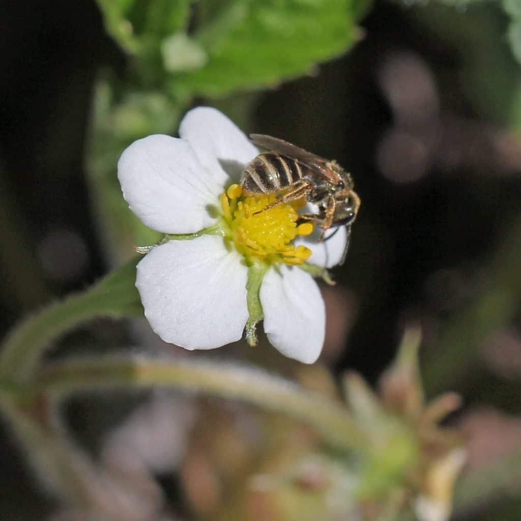 Biene an einer Erdbeerepflanze.