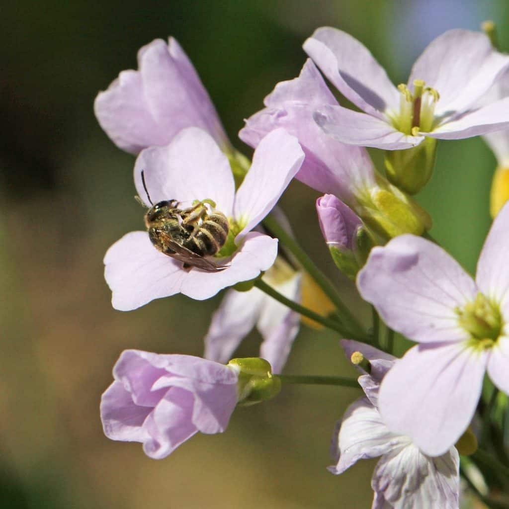 Eine Biene auf einem Wiesenschaumkraut.