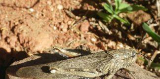 Die Wanderheuschrecke, ein Insekt, ist im Tessin ein Neozoen.
