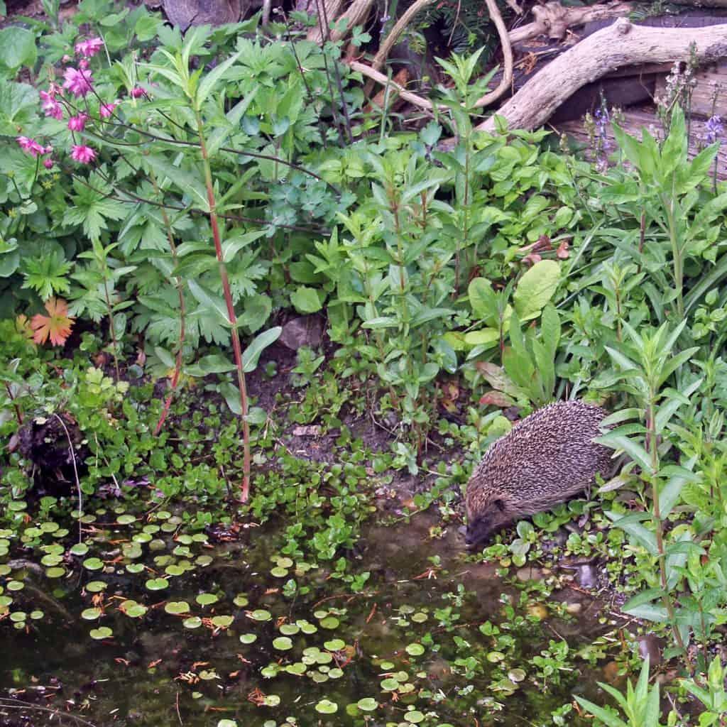 Ein Igel am Teich.