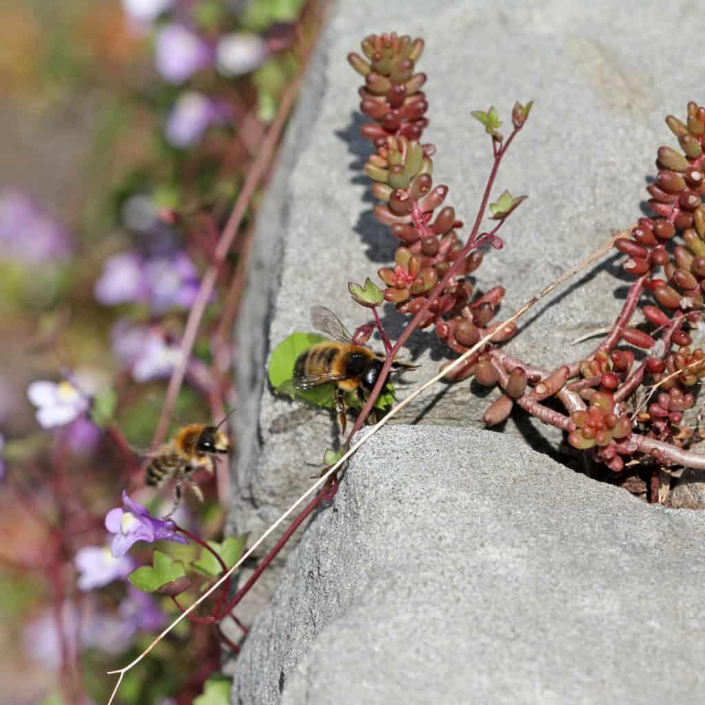 Blattschneiderbiene rollt ein Blättchen zusammen, wo ihr Ei reinkommt.