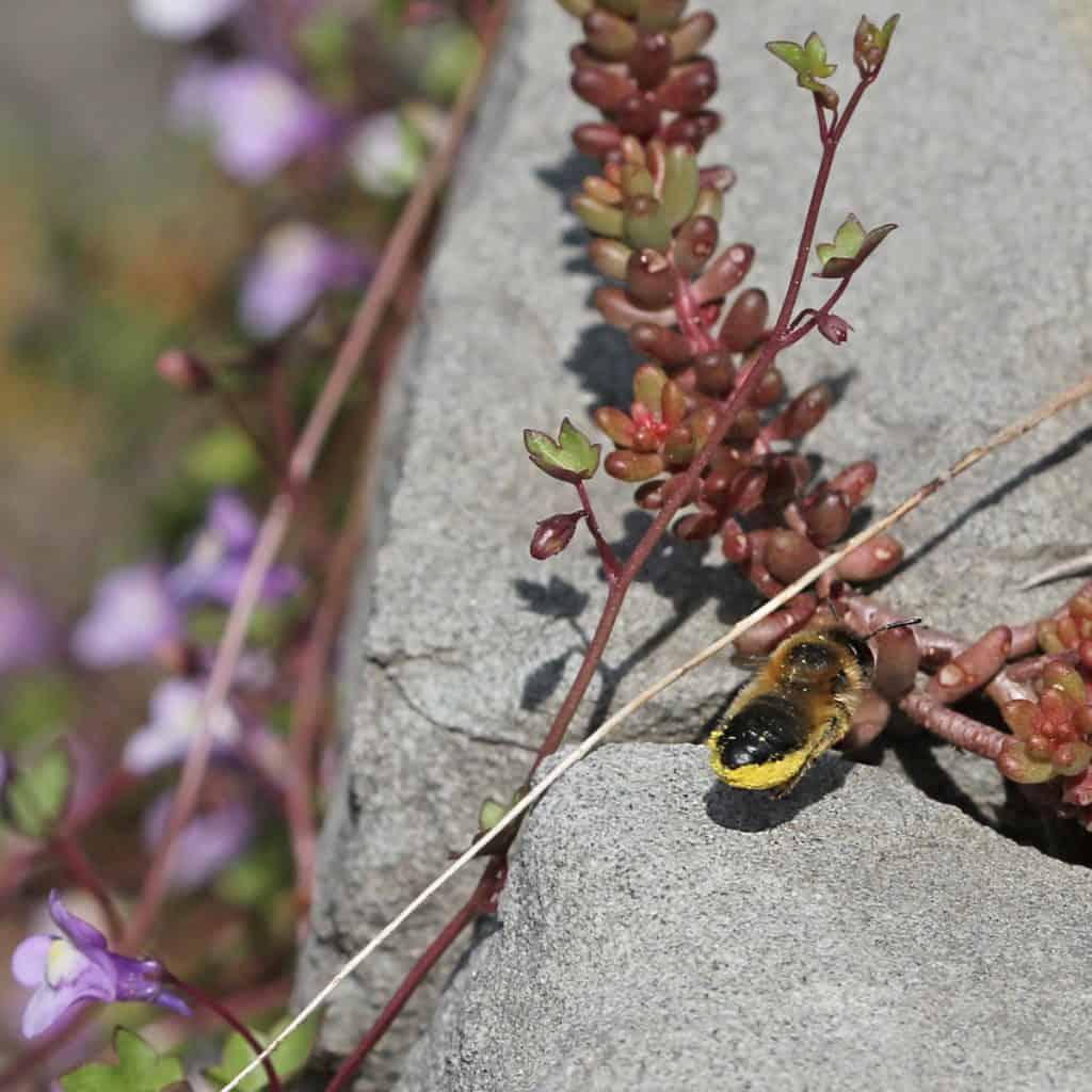 Die Blattschneiderbienen ist von den gesammelten Pollen ganz gelb.