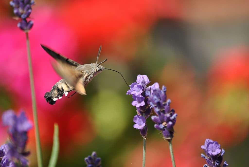 Ein Taubenschwänzchen saugt an einer Blüte.