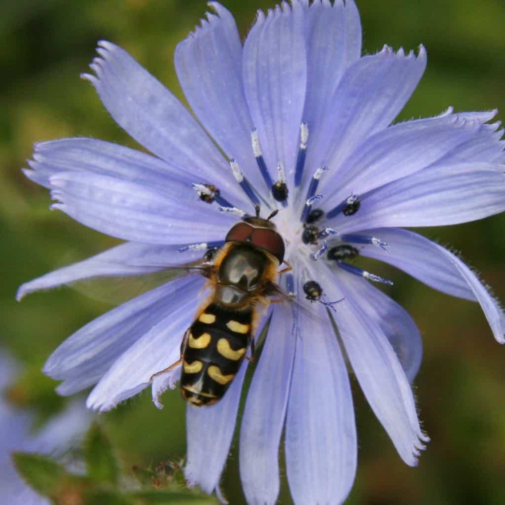 Die Schwebfliege Scaeva pyrastri auf einer Blüte.