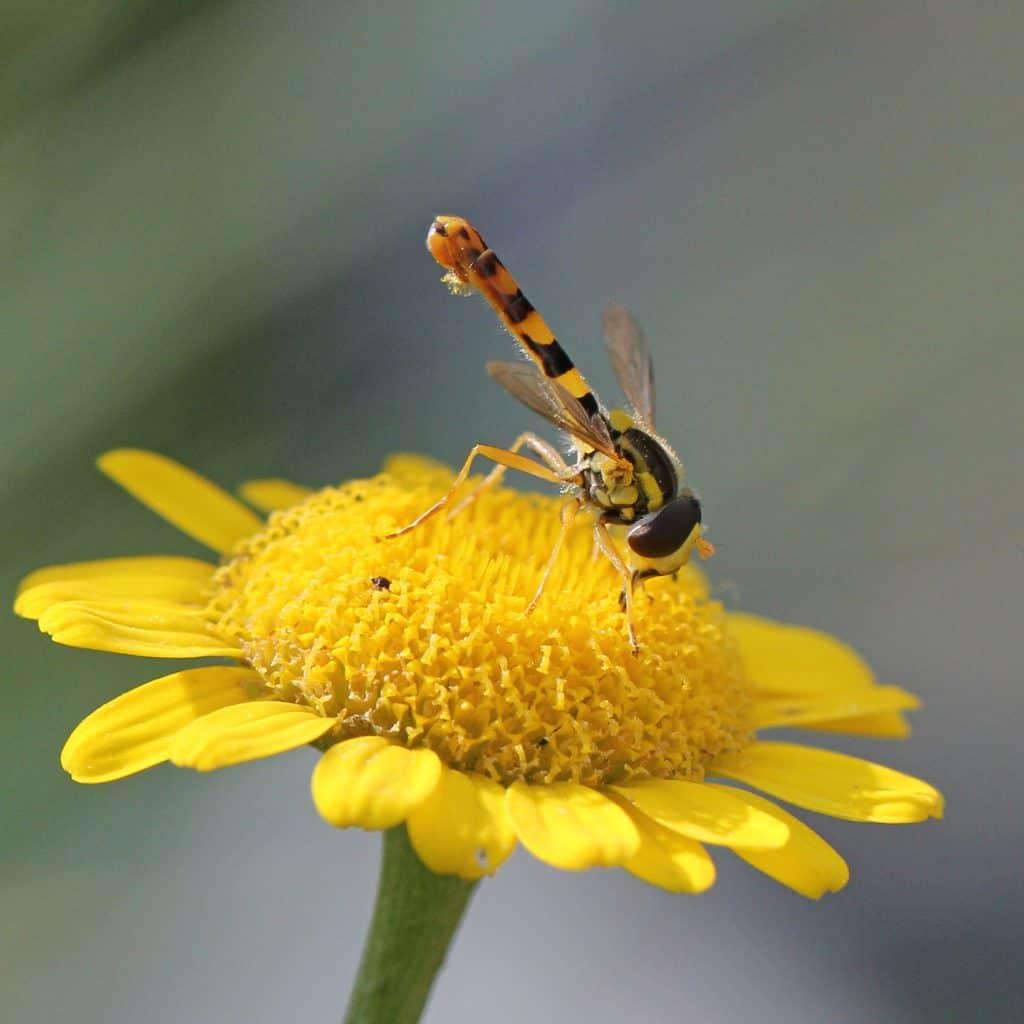 Schwebfliege auf Blüte.