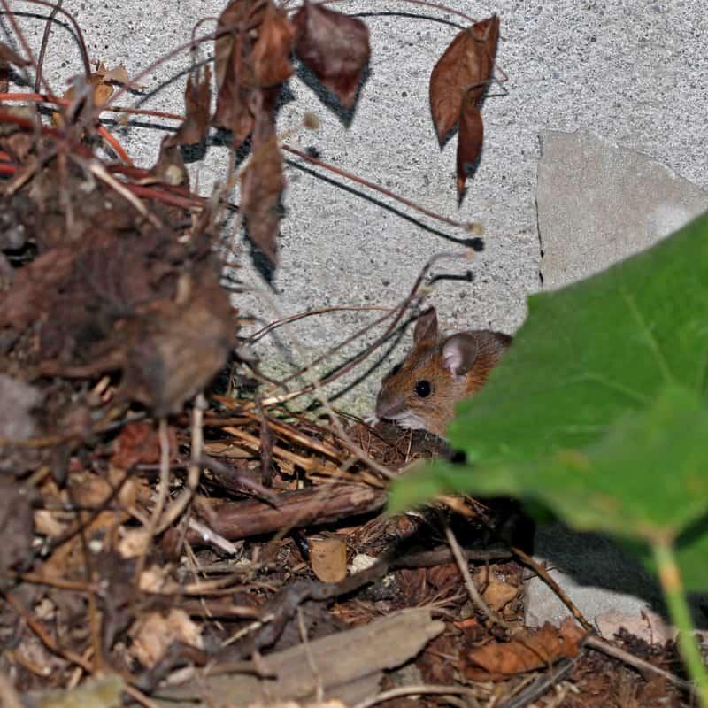 Eine kleine Waldmaus versteckt sich hinter der Vegetation.