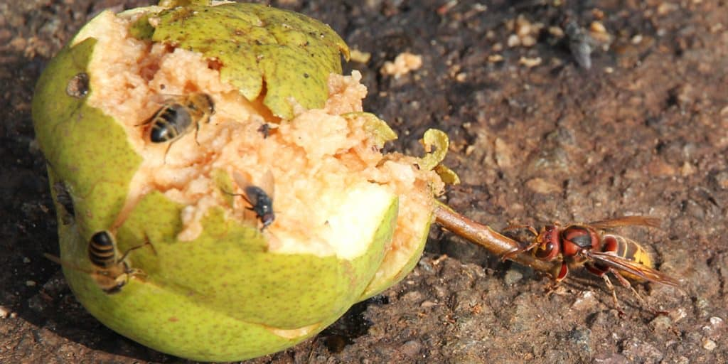 Altes Obst zieht Hornusse an.