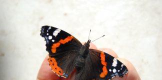 Der Schmetterling Admiral sitzt auf einer Hand.
