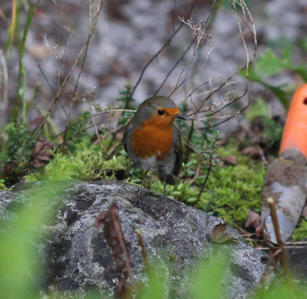Ein Rotkehlchen sitzt nahe der Gärtnerin.