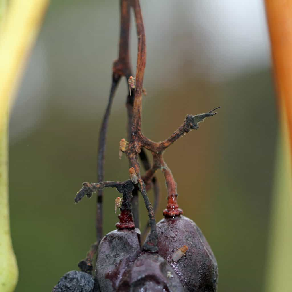 Kirschessigfliege (Drosophila suzukii) zerstört die Traubenernte.