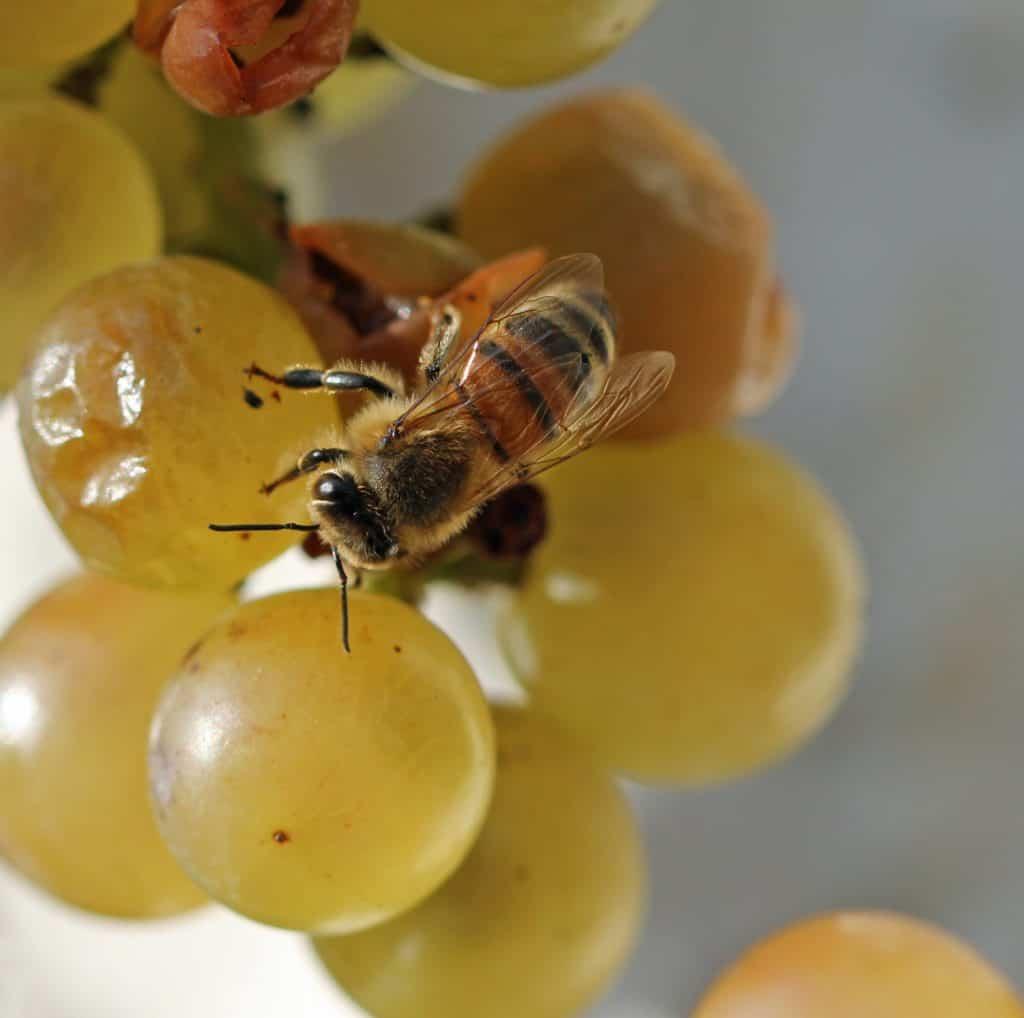 Eine Honigbiene auf Trauben.