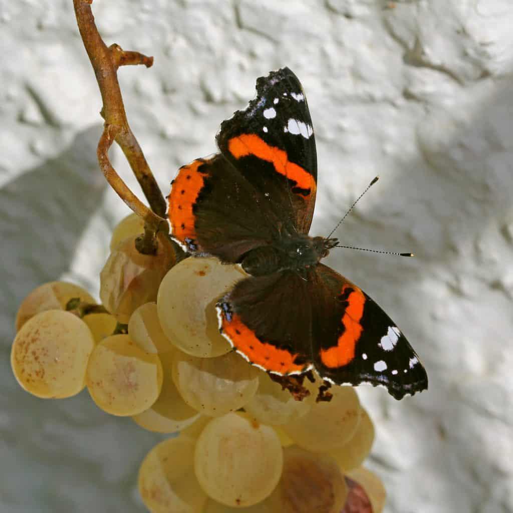 Der Schmetterling Admiral auf Trauben.