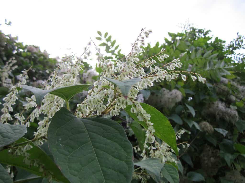 Die weissen Blüten des Japanischen Staudenknöterichs