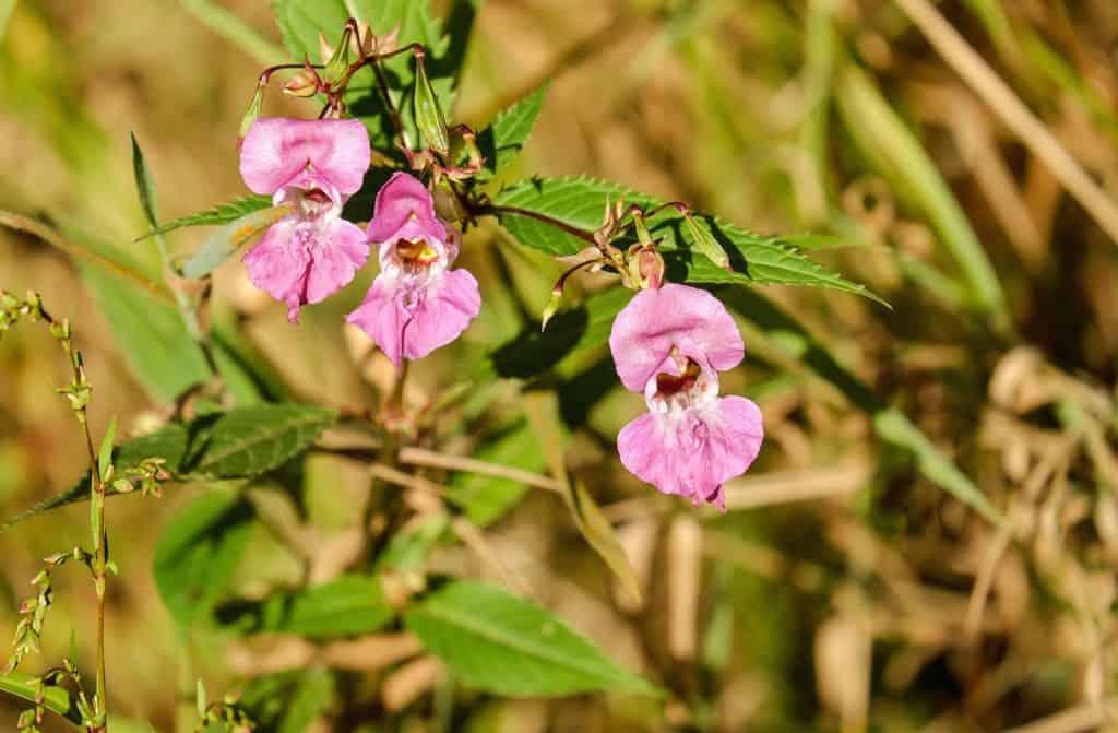 Die Blüten vom drüsigen Springkraut