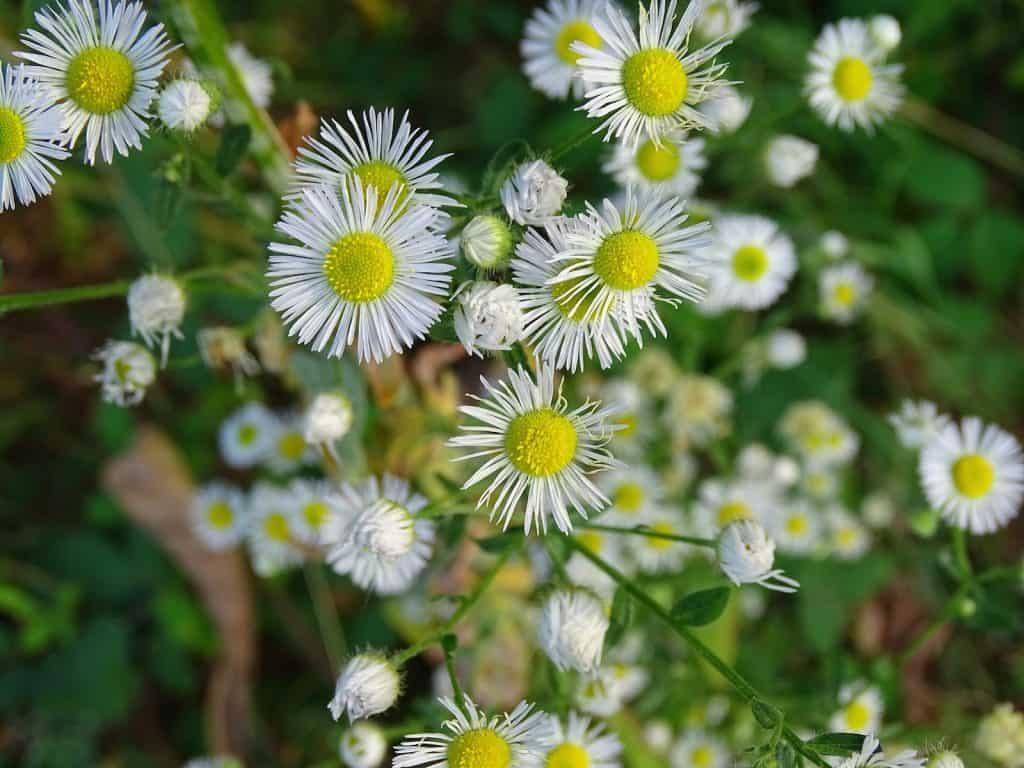 Blüten vom Feinstrahl von Nahe.