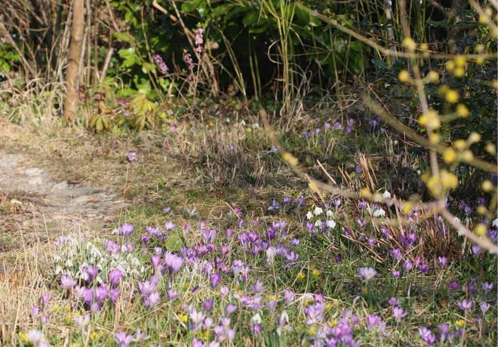 Garten mit Frühblüher mit Krokus.
