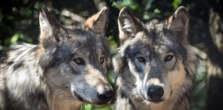 Zwei Wölfe.