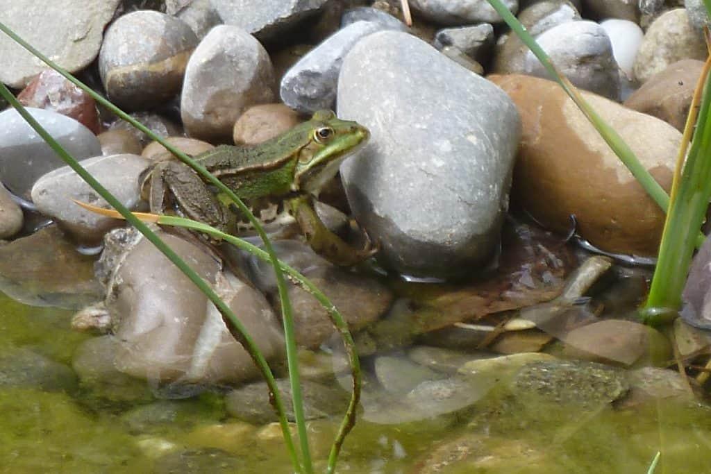 Wasserfrosch am Teich.