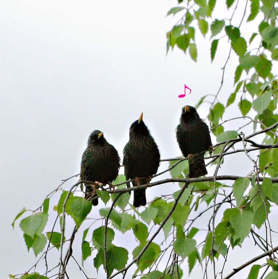 Drei Stare in einer Birke.