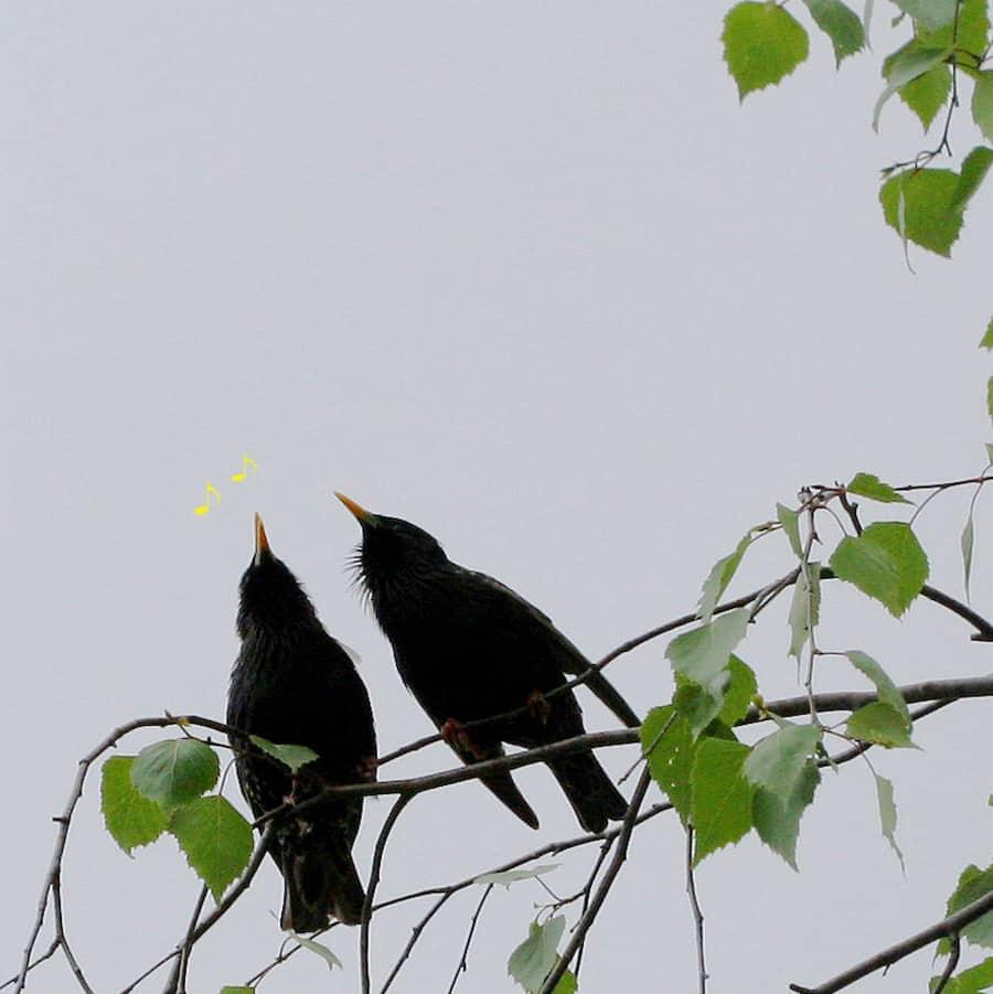 Zwei Stare singen in einer Birke.