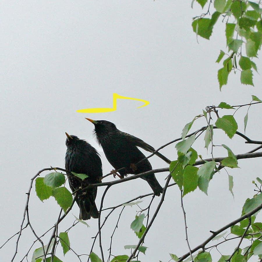 Zwei Stare pfeiffen in einer Birke.