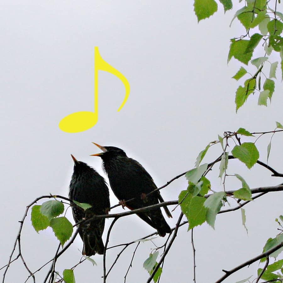 Zwei Stare singen auf der Birke.