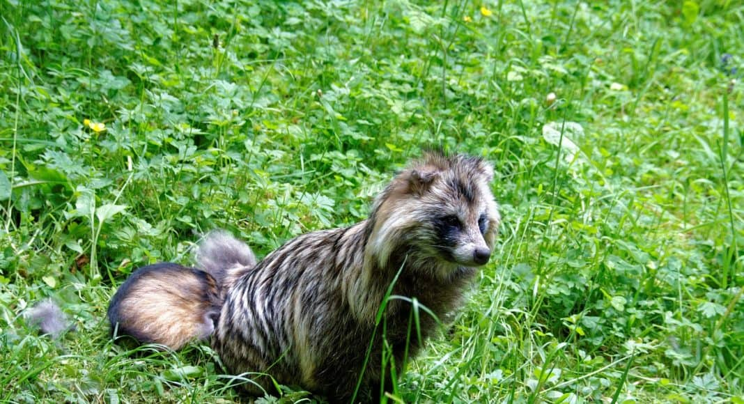Der Marderhund ist in der Schweiz anzutreffen.