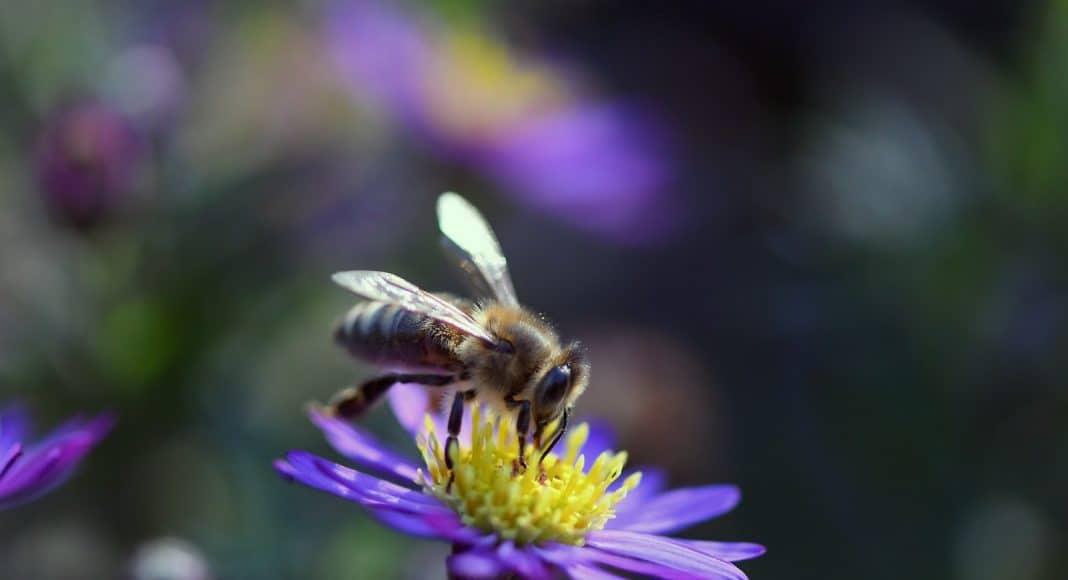 Eine Wildbiene auf einer Blüte.
