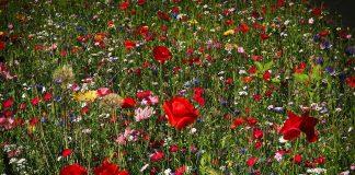 Biodiversität im Garten mit einer schönen vilfältigen Blumenwiese.