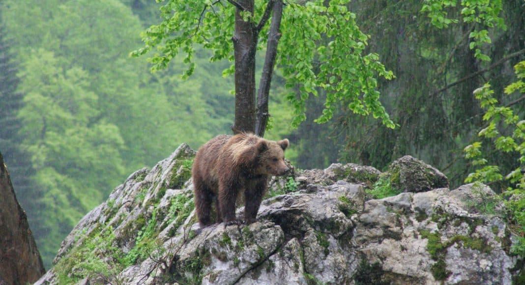 Der Bär wiederbesiedelt die Schweiz.