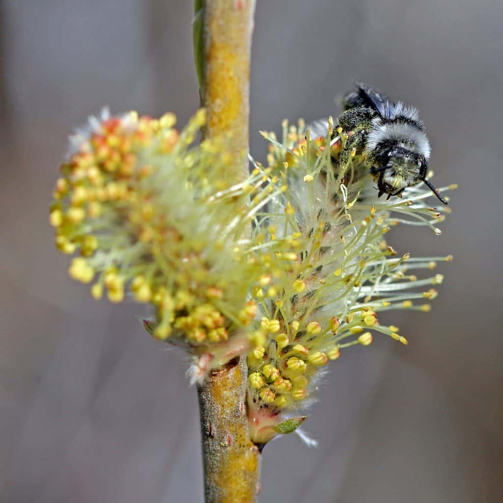 Eine Wildbiene (Andrena cineraria) auf einer Blüte.