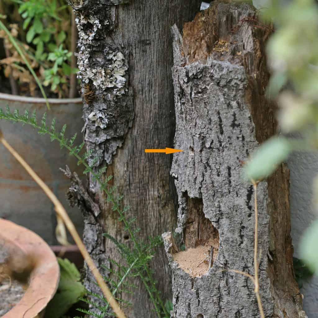 Nistplatz einer Wildbiene (Waldpelzbiene) im Holz.