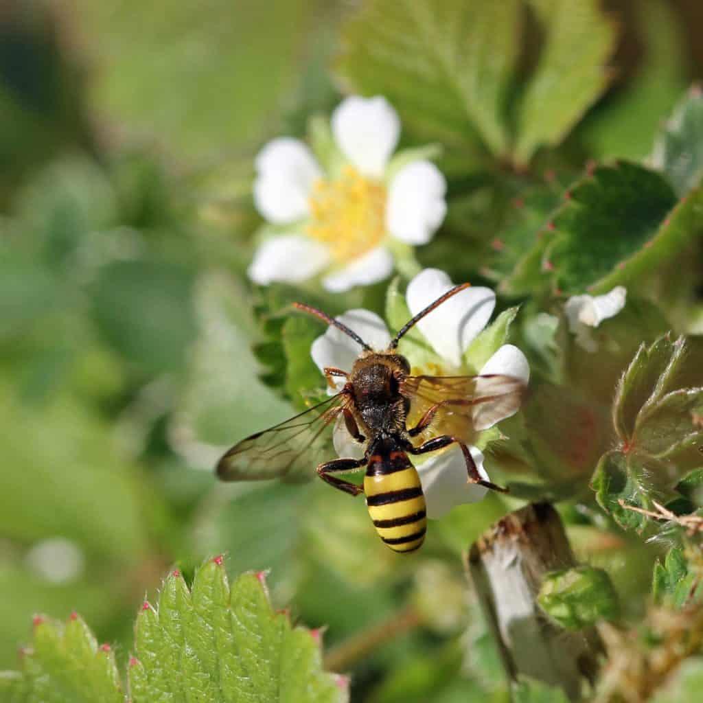 Auf dem Erdbeerfingerkraut ist die Wildbiene: Nomada flava