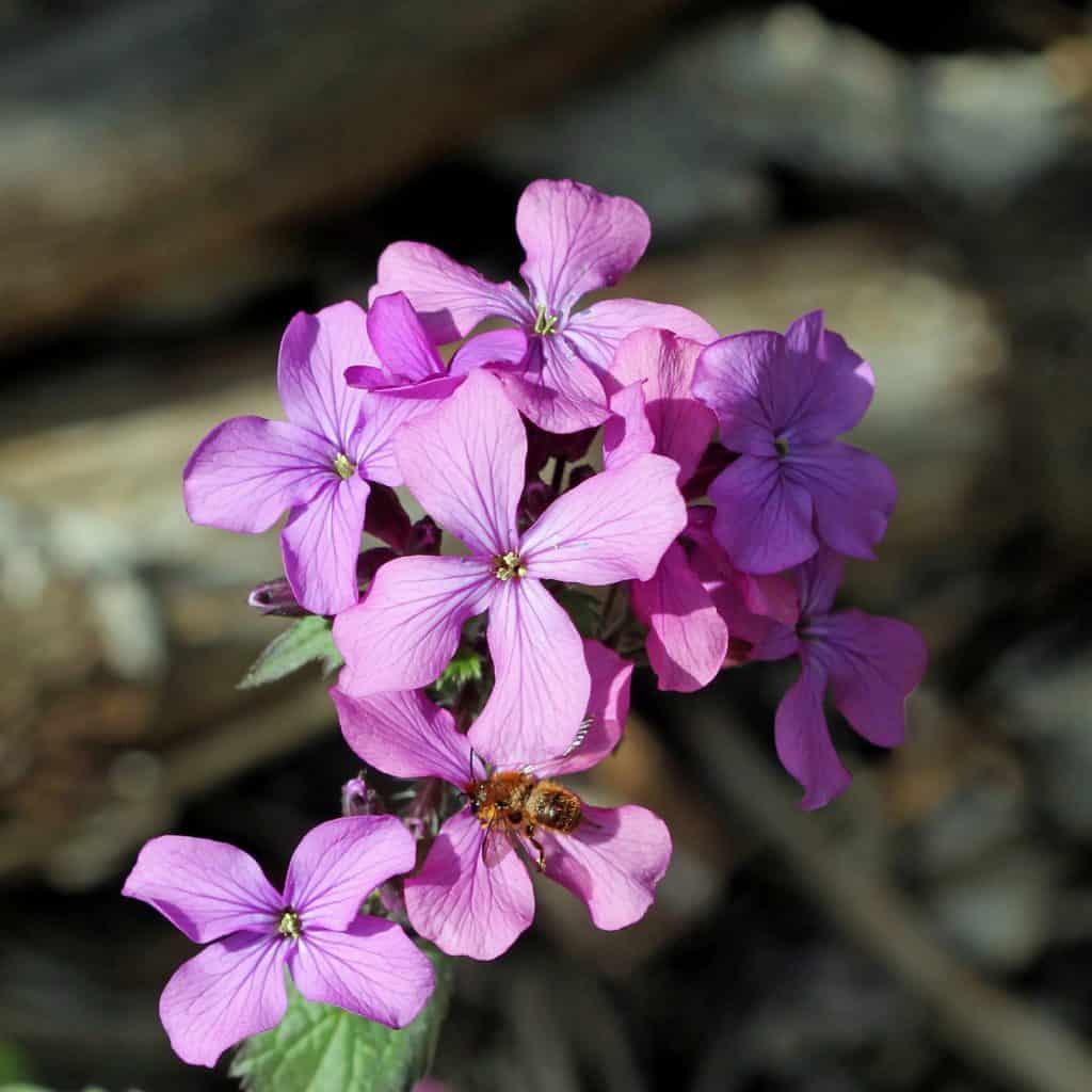 Wildbiene Osmia brevicornis an Blüte.