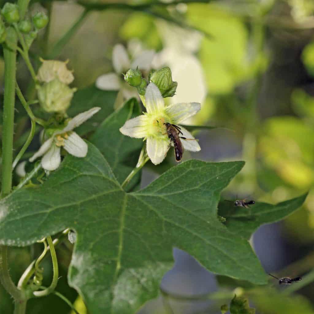 Blüte der Zaunrübe lockt Wildbienen an.