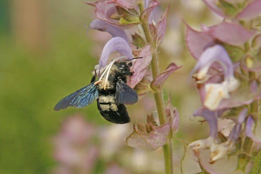 Die Blaue Holzbiene ist auf Totholz angewiesen.