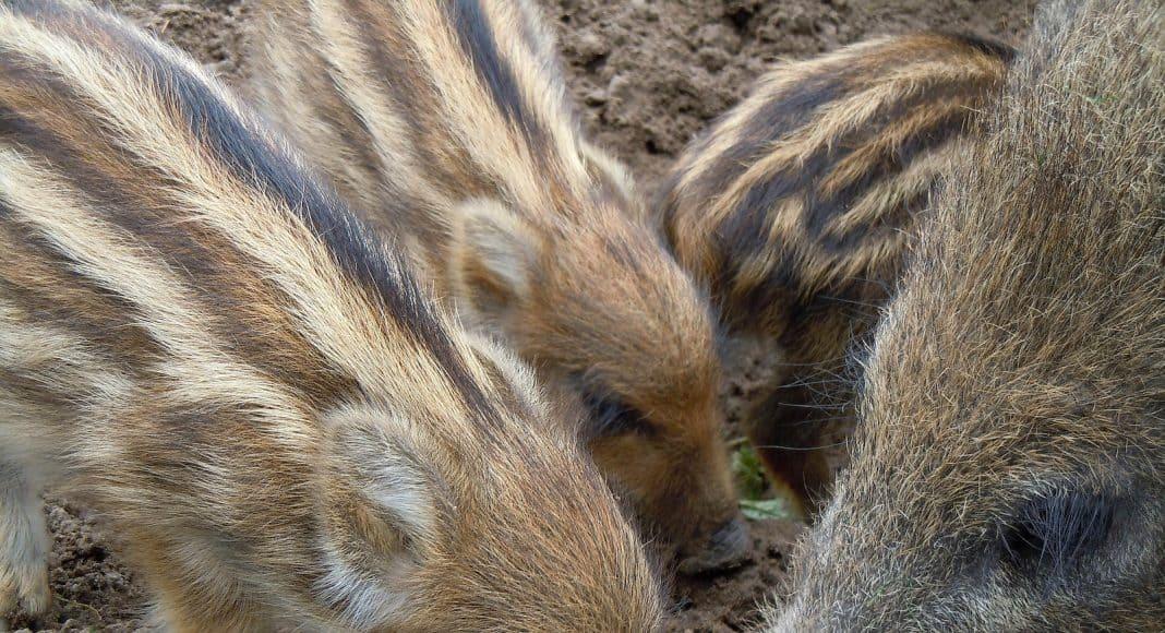 Wildschweine, hier Frischlinge, nehmen dank dem Temperaturanstieg zu.
