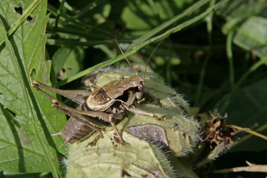 Eine gewöhnliche Strauchschrecke versteckt sich im hohen Gras.