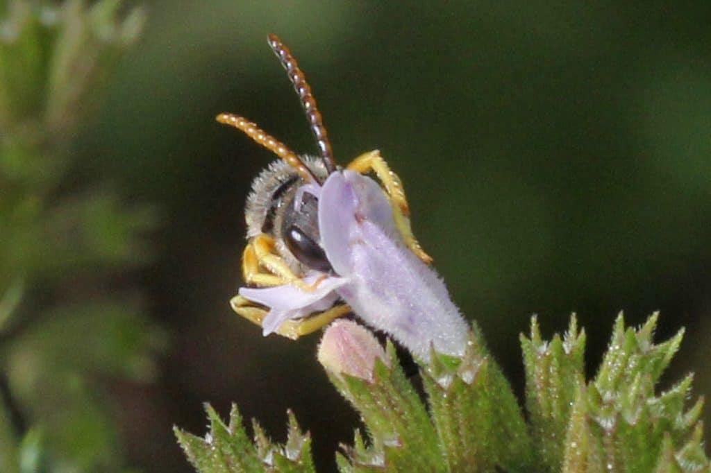 EIne Furchenbiene verschwindet kopfüber in einer Blüte.