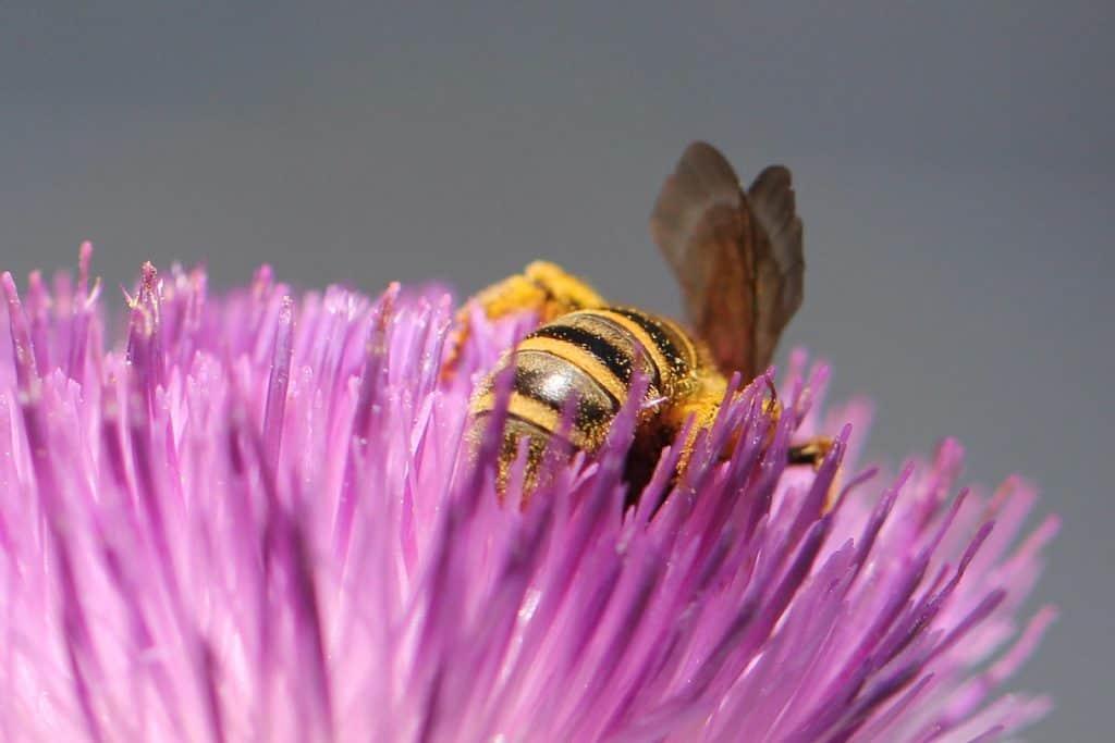 Eine Gelbe Furchenbiene versinkt in der Blüte.