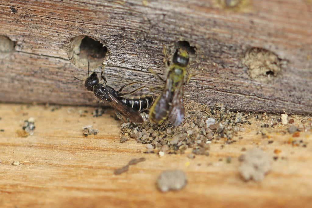 Zwei Hahnenfuss-Scherenbienen vor ihrem Bohrloch.